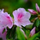 『KAMLAN50mmF1.1による雨上がりの花や若葉 2020/04/20』の画像