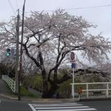 『わが家の桜9』の画像