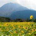 2021 コスモス、ひまわり、サルビア咲く島原は花盛り!「火張山花公園」「有明の森フラワー公園」(島原市)