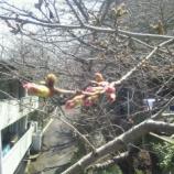『☆今日の栗林♪☆(桜)』の画像