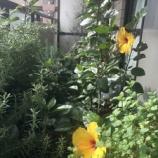 『【朝のご挨拶】ベランダガーデニングは私の趣味のひとつ。ラベンダーが香り、ミントやローズマリーが並ぶ中、今日もハイビスカスが綺麗に咲いてくれました。』の画像