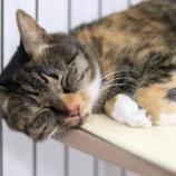『【里親募集中】日本猫のチビ』の画像