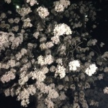 『YOSAKURA』の画像