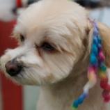 『エクステで1ランク上のオシャレ犬に大変身』の画像