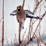 『3月13日 保護した野鳥が元気に!』の画像