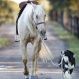 『馬を訓練するボーダーコリー』の画像