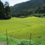 『稲の生育と猪による被害』の画像