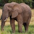 【悲報】ゾウさん、牙目的で密猟されまくった結果とんでもない進化を遂げてしまう