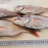 『国東の食環境(214)鯛』の画像