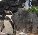 """東武動物公園 """"恋する""""ペンギングレープ君が亡くなる 大好きな「けもフレ」フルルが最後まで見守る"""