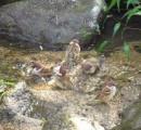 まるで温泉の団体客? 朝から楽しそうに水浴びするスズメさん達