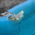 でっかいモフモフがプールの中にいた。へそ天で、ス~イスイ♪ → リラックスな白クマはこうなります…