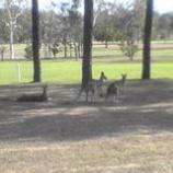 『オーストラリア ケアンズ旅行記12 ゴルフ場にカンガルーがいるのが普通の風景』の画像