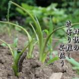 『畑の奸物』の画像