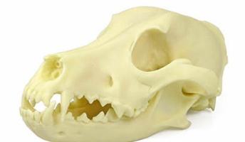 頭骨からなんの動物か当てるスレ(画像あり)