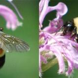 『ついに米国のマルハナバチが絶滅の危機』の画像