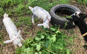 ブドウの葉を食べるヤギの一家