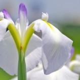 『【写真】 a7R  地元の梅雨、梅雨の花。2 ~菖蒲園~』の画像