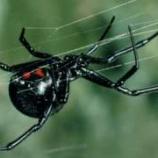 『クロゴケグモの毒の遺伝子コードを利用する生命体』の画像