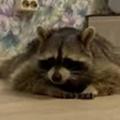 アライグマが床に「ぺた~ん」としていた。目の前にオヤツを置いてみる → こうなります…