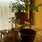 『(´・ω・`)軒下の植物に施肥』の画像