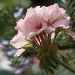 ピノ子の庭
