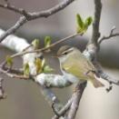 センダイムシクイ来たる Eastern Crowned Warbler