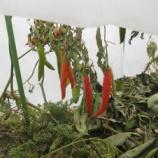 『2020年 タイ唐辛子、Iトマトの露地越冬実験開始』の画像