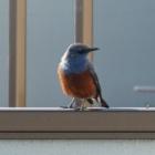『磯鵯(イソヒヨドリ) ~庭に来る野鳥~』の画像