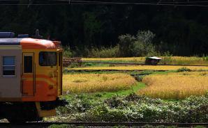 黄色い田んぼと一緒に電車を撮影