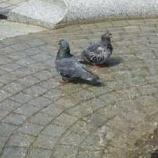 『ハトも水浴び』の画像