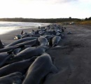 クジラ82頭が集団座礁で大量死、米国