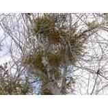 『オフピステチャレンジ1 途中の木に宿り木を発見!』の画像