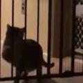 猫がベビーゲートの向こうにいた。ここを通り抜けたい! → こうなっちゃう…