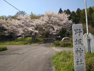[鳥取市・野坂神社] 近所の神社に咲く桜が綺麗だったので軽くお花見をしに寄りました