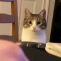 ネコが「テーブル」の向こうからこっちを見ていた。私が口に食べ物を入れる → 猫はこうなる…