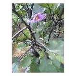 『なすの花』の画像