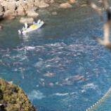 『イルカ漁:仲間から離れない一頭のイルカ』の画像