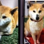『【迷子犬情報】浜松市浜北区で柴犬が行方不明とのこと、飛龍大橋のあたりの近隣の方で見かけたらご連絡のご協力を!』の画像