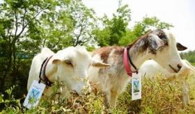 【日本企業】   アマゾン日本で 今年も草を除草するヤギを雇用。昨年の2倍の「隊員数」を採用し、社員証を着用する。  海外の反応
