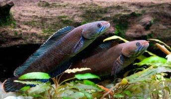 ヒマラヤで211新種発見=「くしゃみ止まらぬ猿」や「歩く魚」など不思議な生物が続々