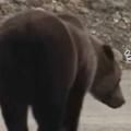 でっかいクマが道を歩いていた。カラーコーンが倒れている。どうするの? → クマはこうした…