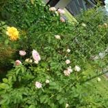『遠隔ヒーリング体験談(磁場調整をしたらいきなりたくさんのバラが咲いた)』の画像
