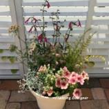 『ブキャナンセージとペチュニアの寄せ植えを夏でもピンクに仕上げました!(動画付)』の画像