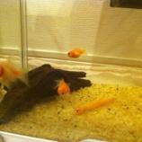 『金魚』の画像