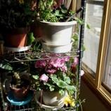 『家の中も春満開』の画像