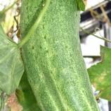 『植菜物語(2100回記念)(34)秋生りの加賀太キュウリ』の画像