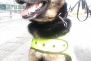 【マフィアvsワンコ】マフィアが「懸賞金」770万円かけた 麻薬捜査犬「ソンブラ」が最強すぎる 245人逮捕、コカイン9トン押収に貢献