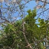『三春の滝桜の子孫』の画像