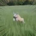2匹のイヌと散歩する。全力ひゃっほ~い♪ → 1匹は草原でこうなります…